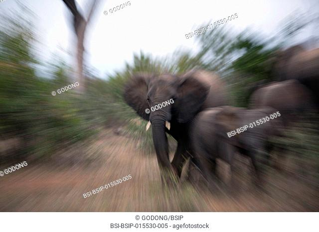 Kruger National Park. Old African Elephant (Loxodonta africana). South Africa