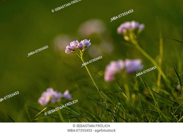 Purple wood anemone in a meadow