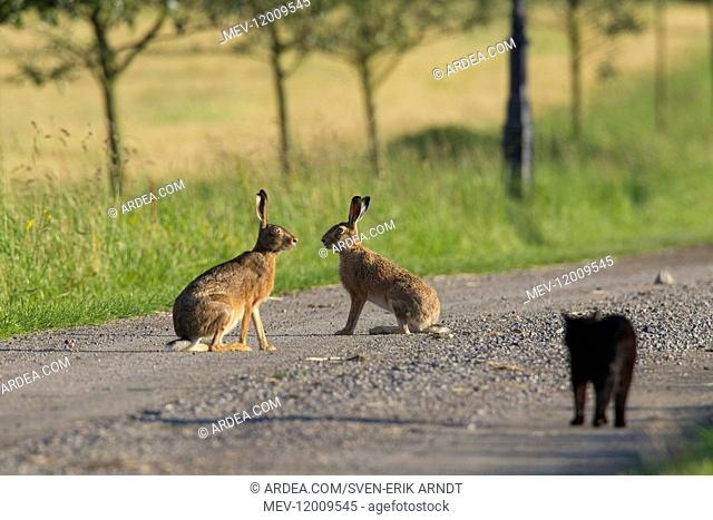 European Brown Hare - domestic cat watching two hares on a road - Sweden