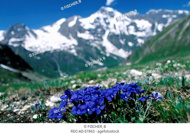 Spring Gentian national park Hohe Tauern Austria Gentiana verna