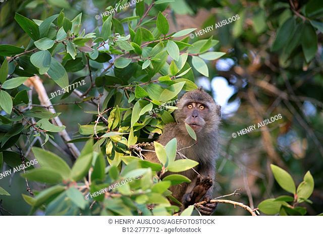Crab-eating Macaque, Long-tailed Macaque (Macaca fascicularis), Thailand
