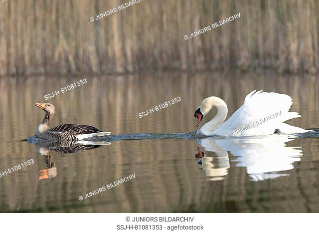 Male Mute Swan (Cygnus olor) chasing a Graylag Goose, Greylag Goose (Anser anser). Schleswig-Holstein, Germany