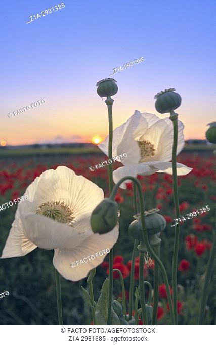 White opium poppy and red poppy flowers field. Getafe, Community of Madrid. Spain