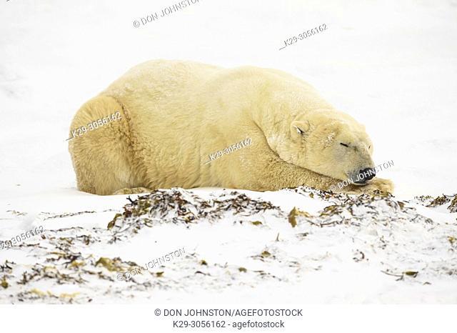 Polar Bear (Ursus maritimus) Sleeping along Hudson Bay coastline, waitoing for sea ice to form, Wapusk NP, Cape Churchill, Manitoba, Canada