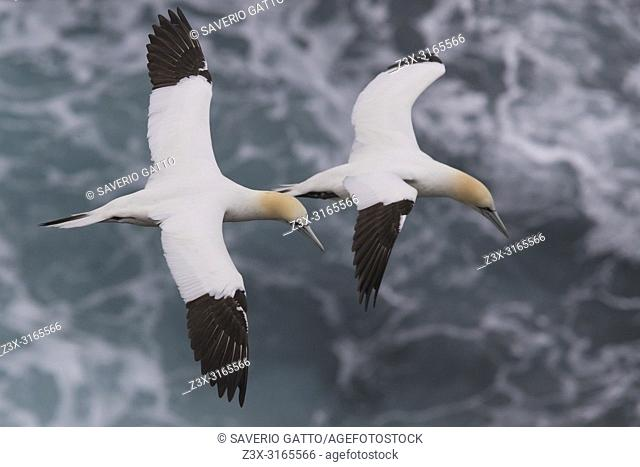 Northern Gannet (Morus bassanus), two adults in flight over the sea