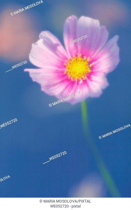 Cosmos flower. Cosmos bipinnatus. June 2006. Maryland, USA