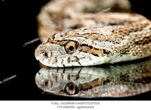Great Plains Rat Snake (Pantherophis emoryi) [Controlled Subject] - Camp Lula Sams, Brownsville, Texas, USA