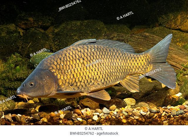 carp, common carp, European carp Cyprinus carpio, fully scaled carp swimming over gravel ground