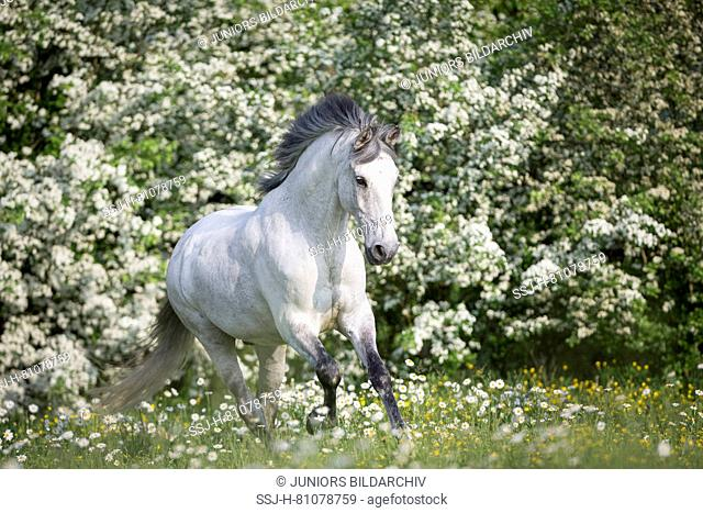 Pure Spanish Horse, Andalusian. Blind gelding galloping on a flowering meadow. Switzerland
