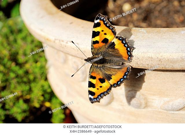 Small Tortoiseshell butterfly, Aglais urticae resting on a Terracotta plant pot, Wales, UK