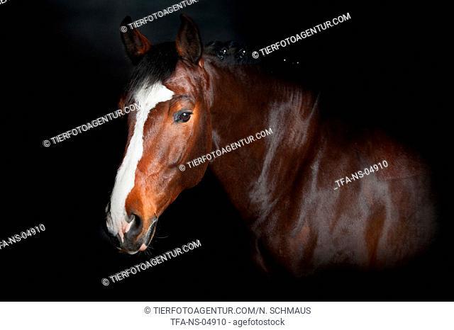 German Sport Horse Portrait