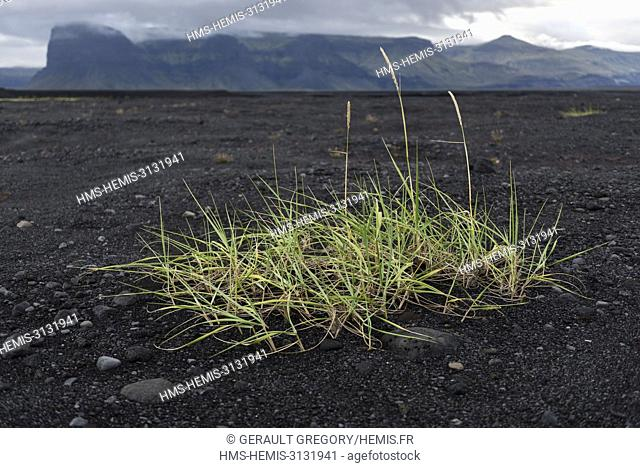 Iceland, South Iceland, grass in the sand (Leymus arenarius), Lomagnupur mountain in the background