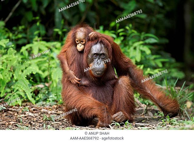 Bornean Orangutan female 'Gara' and her daughter 'Gita' aged 2 years portrait (Pongo pygmaeus wurmbii). Camp Leakey, Tanjung Puting National Park