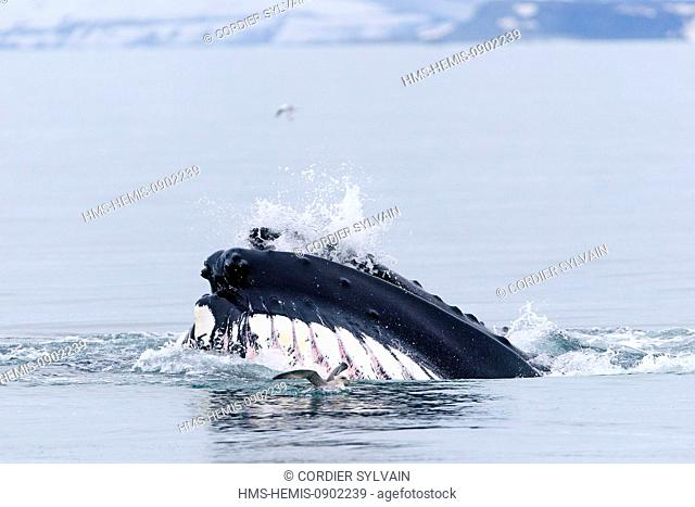 Norway, Svalbard, Nordaustlandet, Humpback whale (Megaptera novaeangliae), feeding on the surface, horizontal feed, mouth open laterally to take the plankton