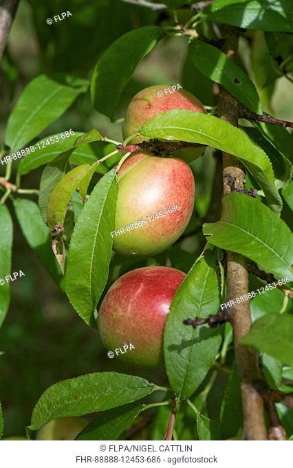 Immature nectarine fruit on the tree, Gironde, France