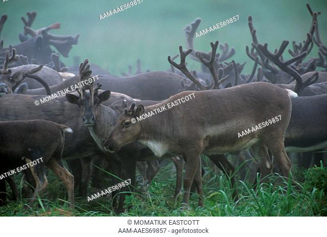 Reindeer Herd, , St. Paul Island, Pribilofs, Alaska, 900 roam small island