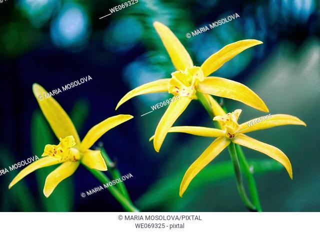 Brassolaeliocattleya orchid. Mini-cattleya orchid. September 2006, Maryland, USA