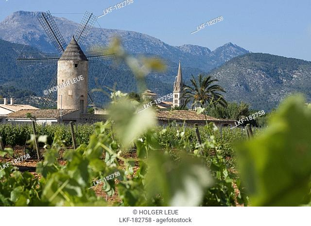 Vines, Windmill and Church, View from Bodega Jose L. Ferrer Winery, Binissalem, Mallorca, Balearic Islands, Spain