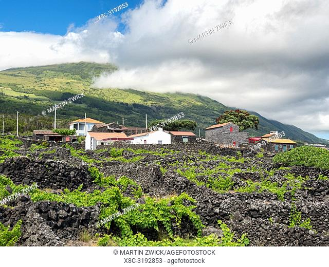 Traditional viniculture near Sao Mateus, traditional wine growing on Pico is listed as UNESCO world heritage. Pico Island