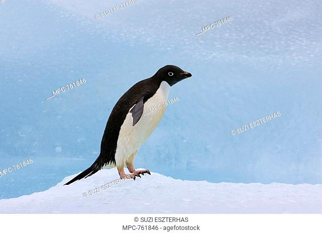 Adelie Penguin Pygoscelis adeliae on iceberg, Paulet Island, Antarctica