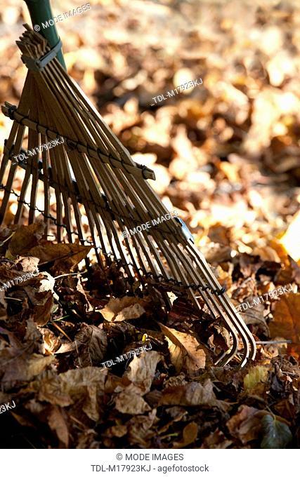Raking up autumn leaves, close up