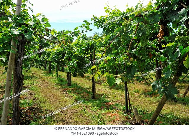 Vineyards in the Castle's ascent, Riegersburg, Styria, Austria