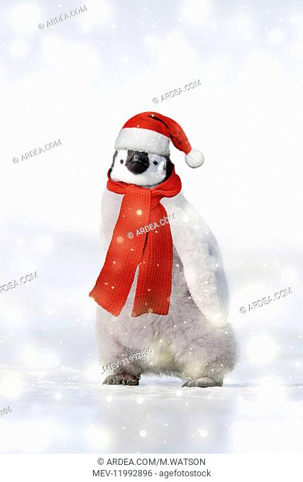 Emperor Penguin - chick wearing Christmas hat and scarf