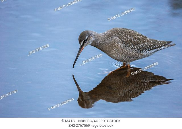 Redshank, Tringa totanus, standing in water, looking down in the water as to his own reflection in the water, Gravdal, Lofoten Islands, Norway