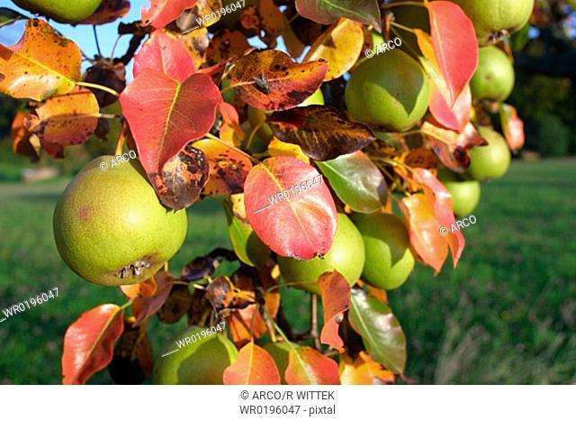 Apples, on, tree, Germany