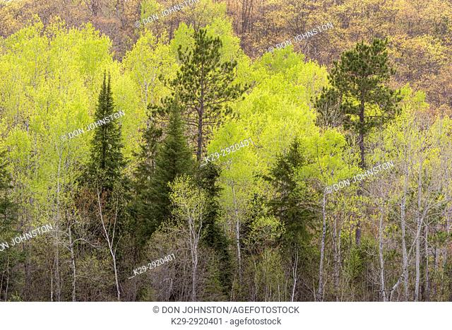 A hillside of pine, spruce, poplar and birch in early spring, Greater Sudbury, Ontario, Canada