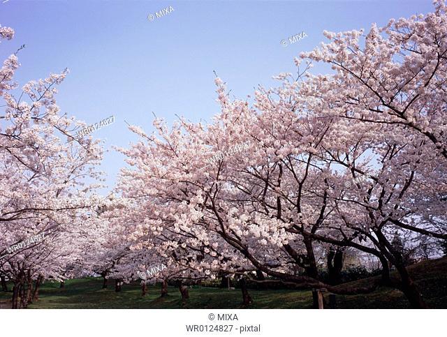Cherry trees in Tsuruoka Park