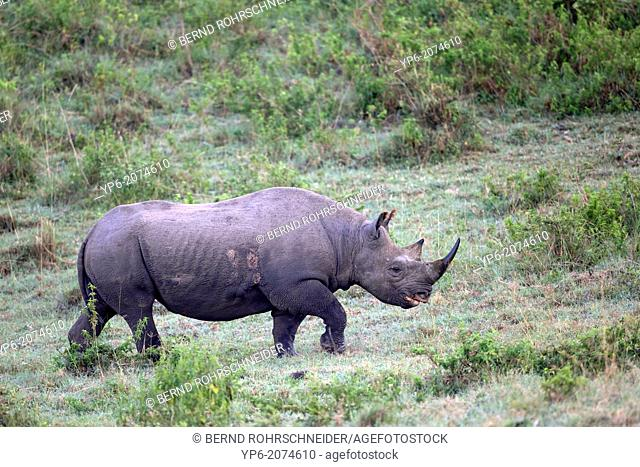 Black Rhinoceros (Diceros bicornis), Lake Nakuru National Park, Kenya