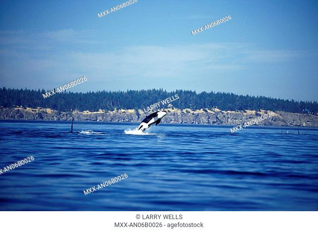 Orca, Killer whales, Vancouver Island, British Columbia, Canada
