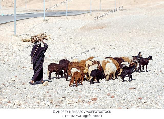 Bedouin women to visit the goats and bears the head sugar trosny, Luxor, Egypt, Africa
