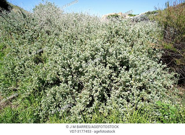 Mediterranean saltbush or sea orache (Atriplex halimus) is an halophyte shrub native to Mediterranean Basin coasts and Sahara