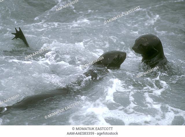 N. Fur Seal Pups frolicking in Surf (Callorhinus ursinus), St. Paul Is., Pribilofs, AK