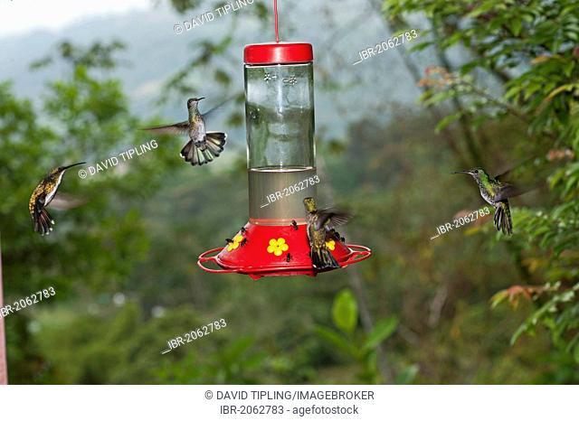 White-necked Jacobins (Florisuga mellivora) and Green-breasted Mango (Anthracothorax prevostii) hummingbirds feeding at hummingbird backyard feeder