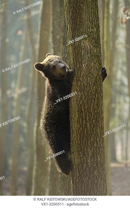 Young European Brown Bear ( Ursus arctos ) climbing up a tree, looks funny. .