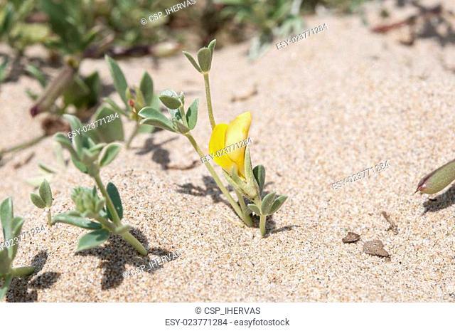 Cretan trefoil, Lotus creticus