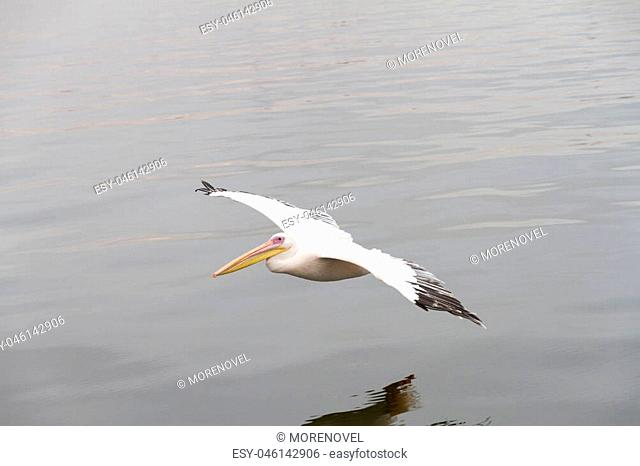 A pelican is flying on the sea