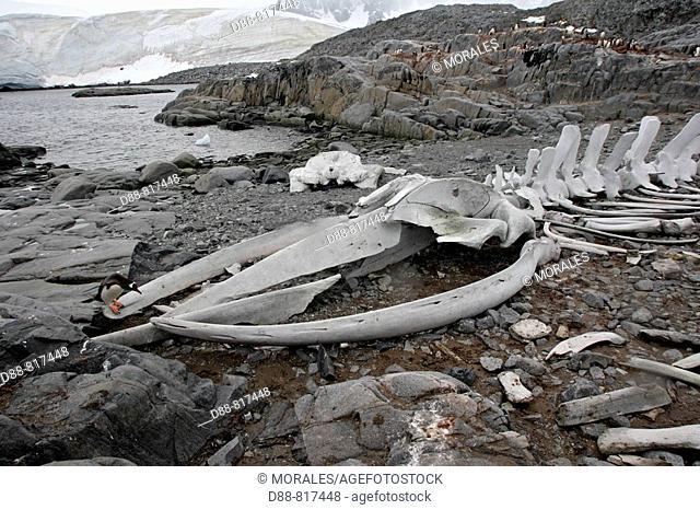 Skeleton of Blue Whale, Port Lockroy, Antarctica