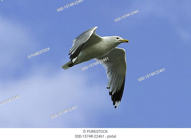 Low angle view of a California Gull flying in the sky