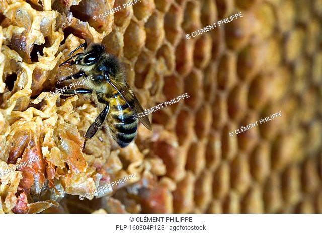 Honey bee worker(Apis mellifera) on comb showing decapped and uncapped cells inside hive, Belgium