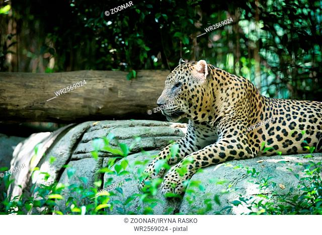 One old spotted Leopard laying in the jungle