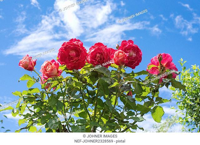 Flowering roses