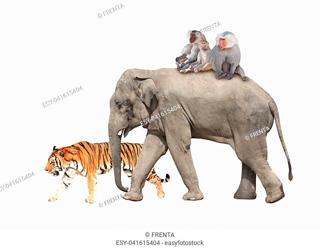 Animal friendship. Tiger, three monkey hamadry are riding on the back of an elephant. Isolated on white background