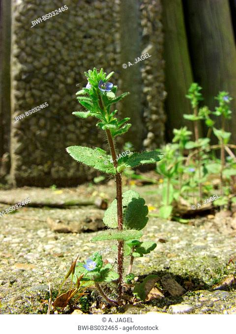 common speedwell, corn speedwell, wall speedwell (Veronica arvensis), flowering plant on a pavement, Germany