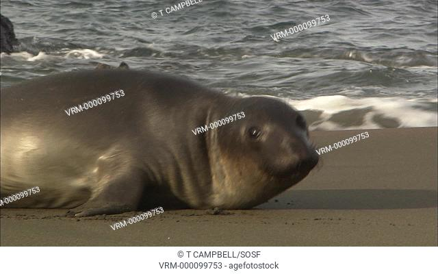 Northern elephant seal bull Mirounga leonina, young female moves across sand then rests. San Simeon, California