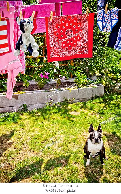 Laundry and stuffed dog hanging on outdoor lines over live dog