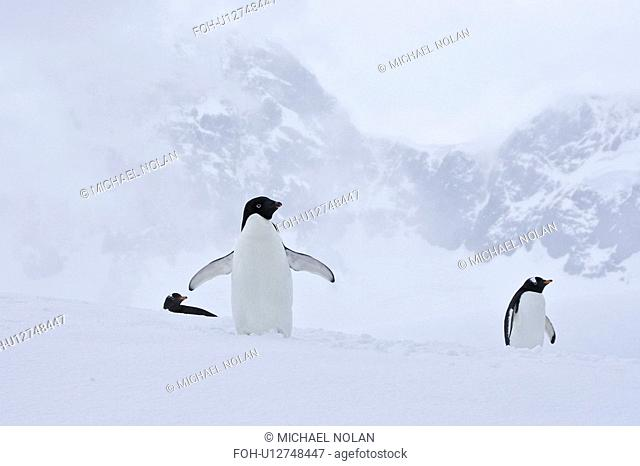 A lone adult Adelie penguin Pygoscelis adeliae among two gentoo penguins on an iceberg off Port Lockroy, Antarctica. There are an estimated 2 million breeding...